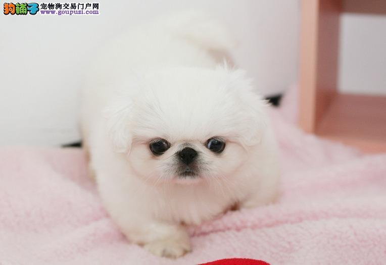纯种京巴犬出售、可上门挑选、可看父母、签质保协议