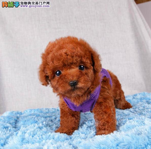 犬舍直销品种纯正健康天津泰迪犬终身质保终身护养指导