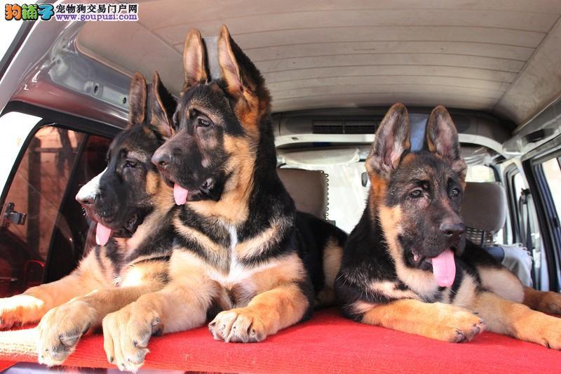 顶级优秀的纯种武汉昆明犬热销中爱狗人士优先