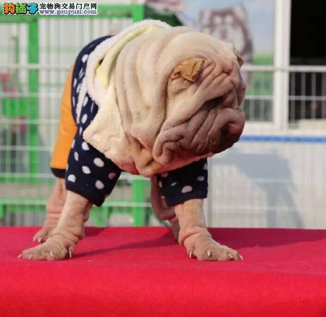 出售多只优秀的沙皮狗贵阳可上门价格低廉品质高