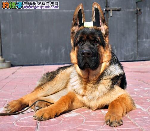 专业正规犬舍热卖优秀的成都昆明犬全国空运发货