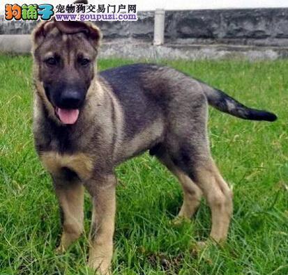 昆明实体店低价促销赛级昆明犬幼犬签订终身协议
