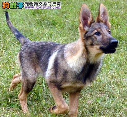 高端昆明犬幼犬,纯度好100%健康,寻找它的主人