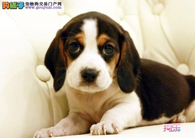 国内唯一一家专业苏州比格犬纯种比格犬可爱萌翻了