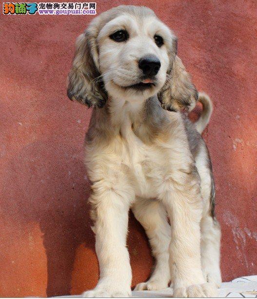 济南正规犬舍高品质阿富汗猎犬带证书品质血统售后均有保障