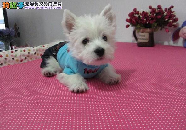 精品西高地幼犬/实物拍摄/纯种健康质保可签协议