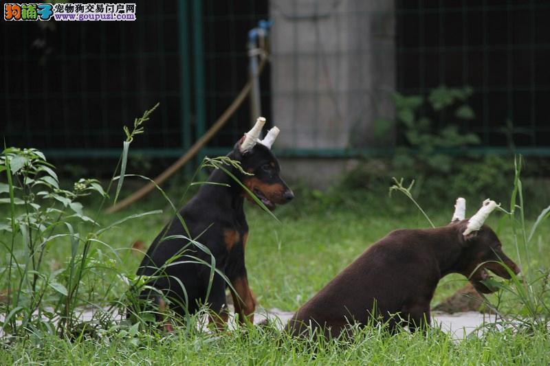 正规狗场出售纯种健康杜宾幼犬签署合约
