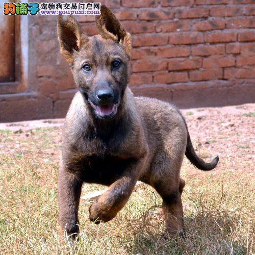 出售聪明伶俐昆明犬品相极佳保障品质一流专业售后