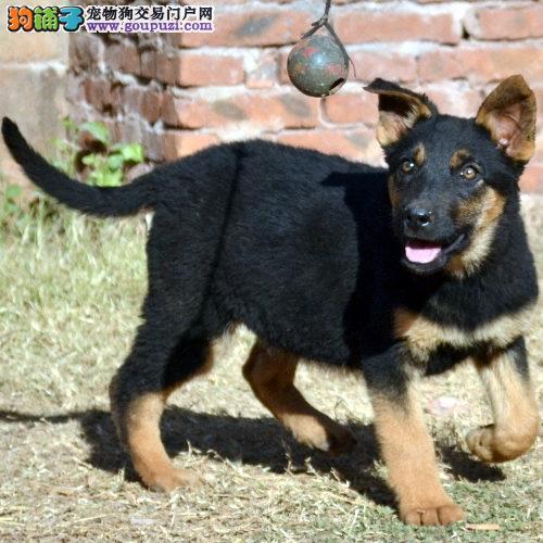 权威机构认证犬舍 专业培育昆明犬幼犬价格美丽品质优良