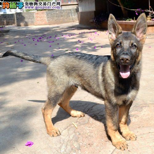 郑州繁殖基地出售多种颜色的昆明犬微信选狗直接视频