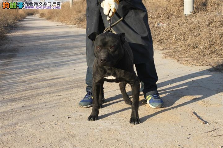 杭州最大的比特犬基地 完美售后冠军级血统品质保障
