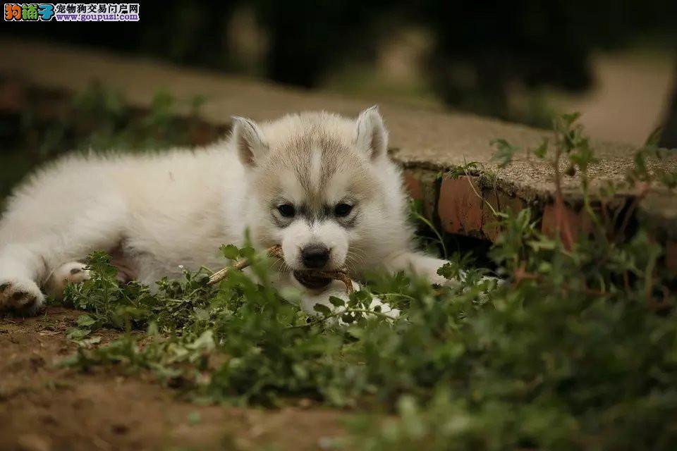 出售自家繁殖的昆明哈士奇幼犬 24小时开通售后服务