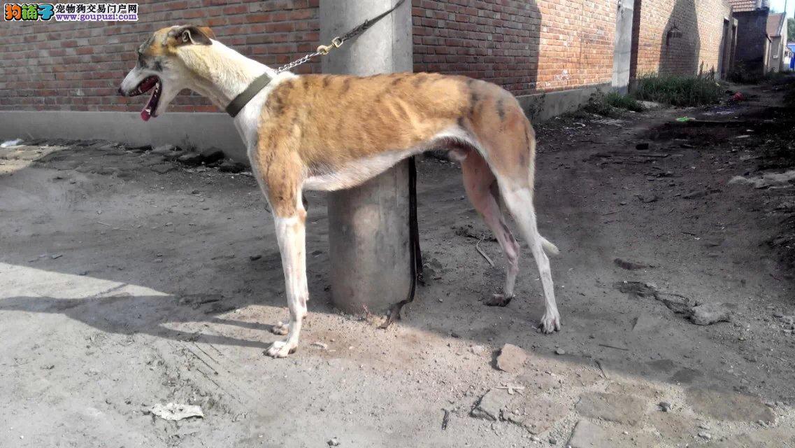出售赛级格力犬 纯度第一价位最低 签订正规合同