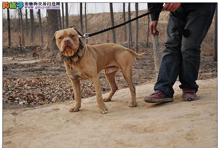 沈阳自家狗场繁殖直销比特犬幼犬终身售后协议