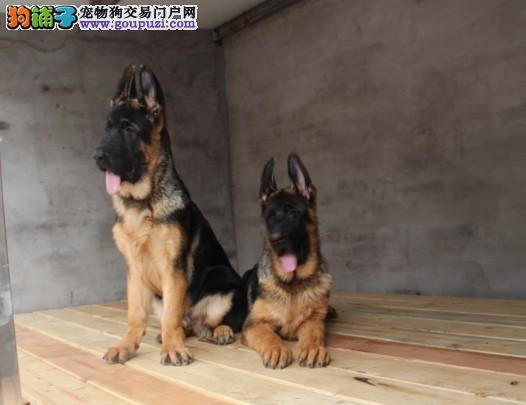 家养多只昆明犬宝宝出售中全国质保全国送货