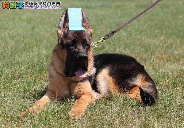 家养赛级昆明犬宝宝品质纯正可以送货上门