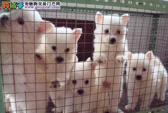 郑州犬舍低价热销 银狐犬血统纯正保证冠军级血统