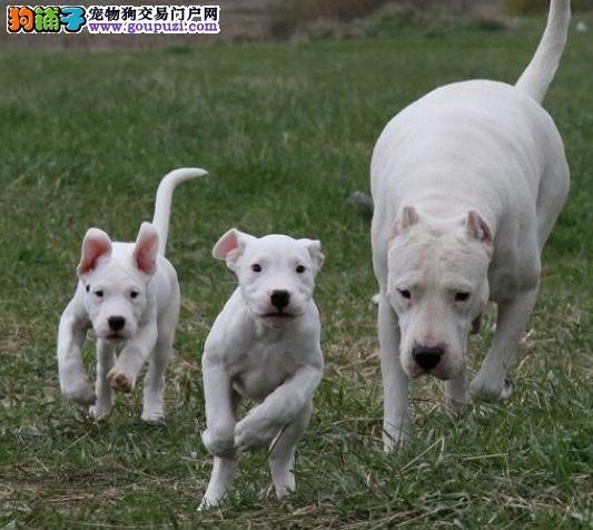 精品杜高犬幼犬一对一视频服务买着放心保障品质售后