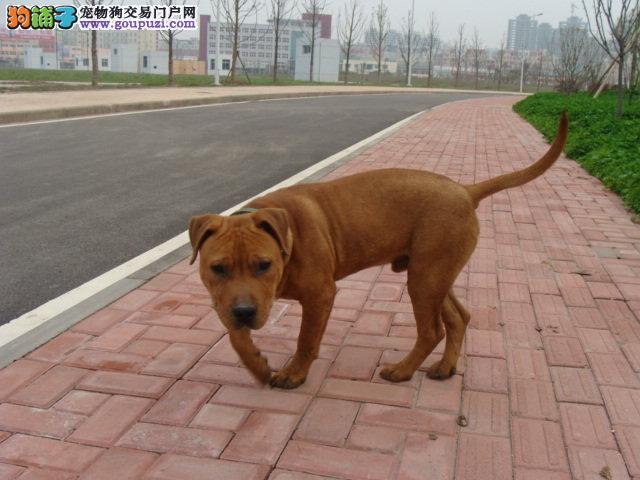 顶级优秀的纯种济南比特犬热销中微信看狗可见父母
