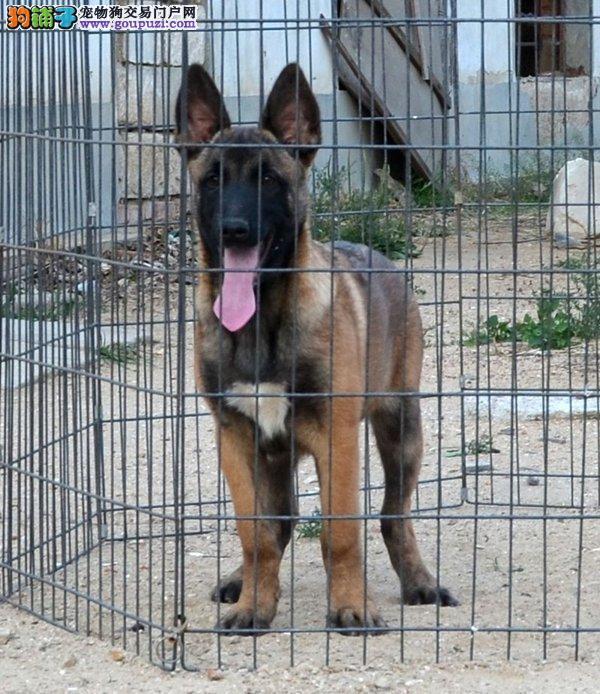 专业繁殖纯种兰州马犬疫苗齐全狗贩子请绕行