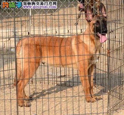 武汉本地出售高品质马犬宝宝全国质保全国送货