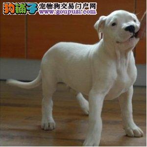 出售杜高犬颜色齐全公母都有期待您的咨询
