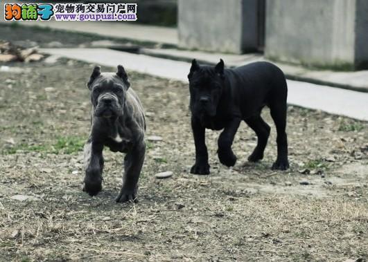 郑州自家繁殖卡斯罗犬出售公母都有CKU认证品质绝对保障