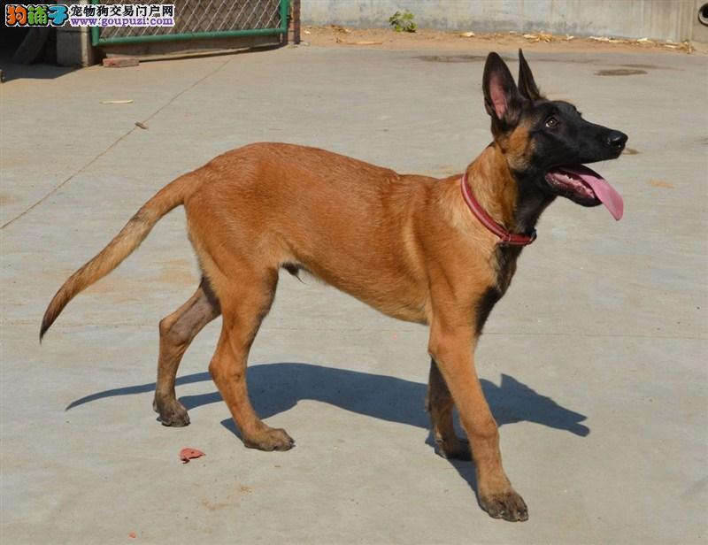 出售马犬宝宝,真实照片保纯保质,三年质保协议