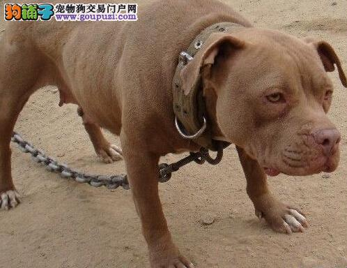 CKU犬舍认证石家庄出售纯种比特犬品质优良诚信为本