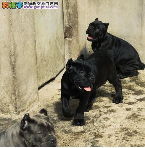 纯种卡斯罗幼犬 重头版大骨量 成为您身边黑色勇士