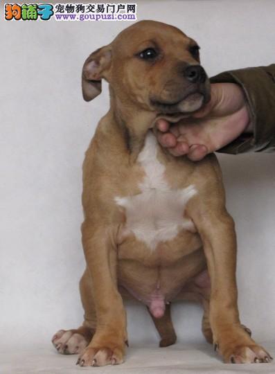 知名犬舍出售多只赛级比特犬赠送全套宠物用品