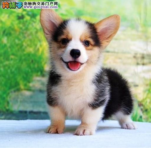 CKU认证纯种柯基狗幼犬 专业养殖各种颜色 诚信出售