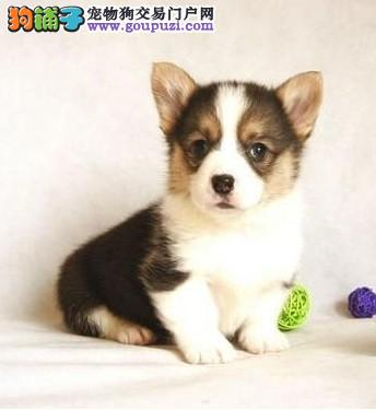 出售忠诚、可爱,外表敦厚老实的柯基犬幼犬