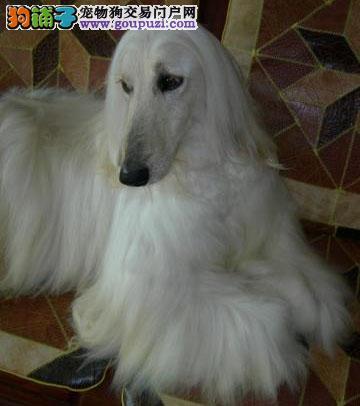 出售多种颜色纯种阿富汗猎犬幼犬外地可空运已驱虫