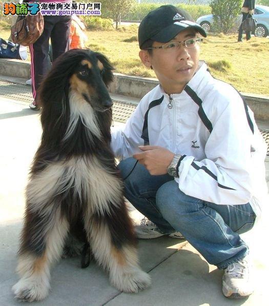 CKU认证犬舍 专业出售极品 阿富汗猎犬幼犬办理血统证书