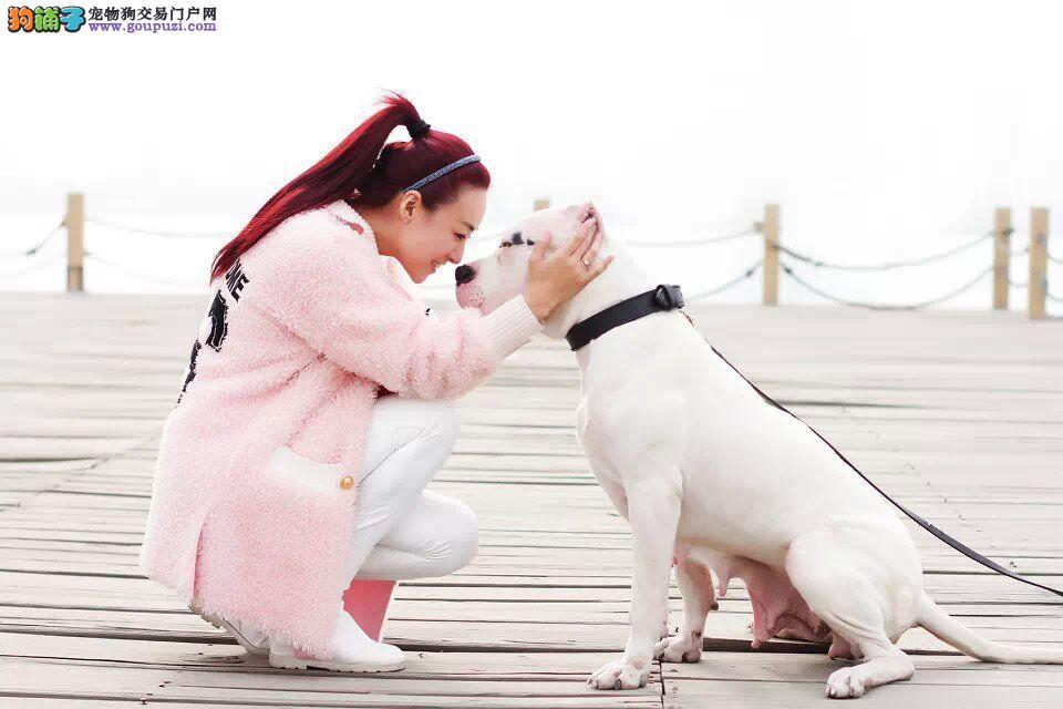 公母均有的杜高犬找爸爸妈妈赛级品质保障