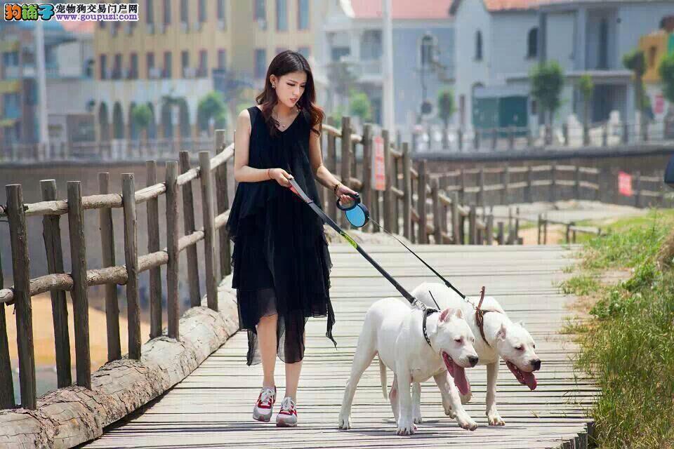 福州出售杜高犬颜色齐全公母都有可签合同刷卡