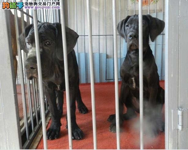 大丹犬找新家,自家繁殖保养活,购犬可签协议