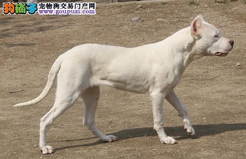 郑州家养赛级杜高犬宝宝品质纯正专业繁殖中心值得信赖