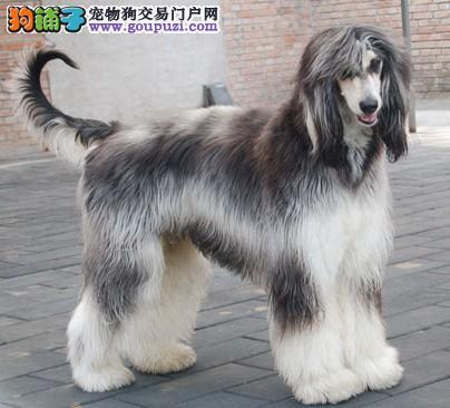 杭州正规狗场犬舍直销阿富汗猎犬幼犬全国空运发货