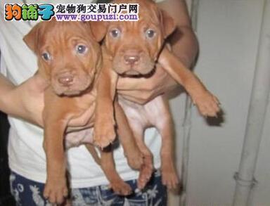 犬舍直销品种纯正健康贵阳比特犬请您放心选购