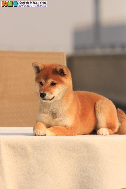 成都哪里有卖柴犬成都哪里能买到家养的柴犬多少钱