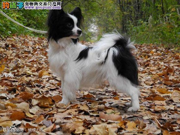 蝴蝶犬的价格多少 蝴蝶犬好养吗 蝴蝶犬广州哪里有卖