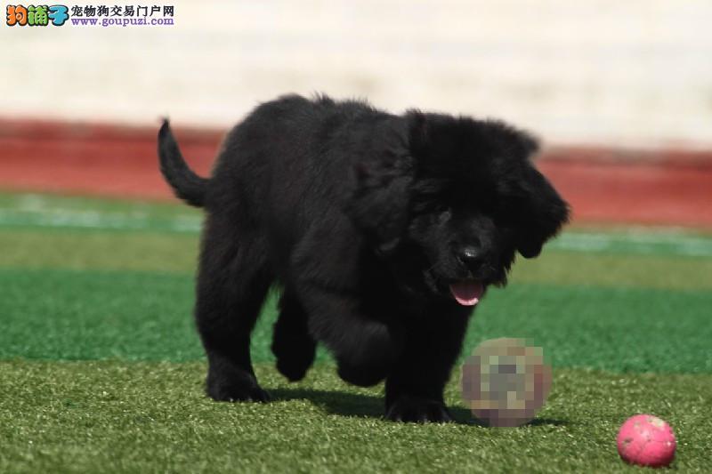CKU犬舍认证合肥出售纯种纽芬兰犬同城免费送货上门