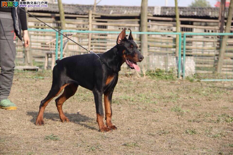 石家庄出售颜色齐全身体健康杜宾犬签订终身协议