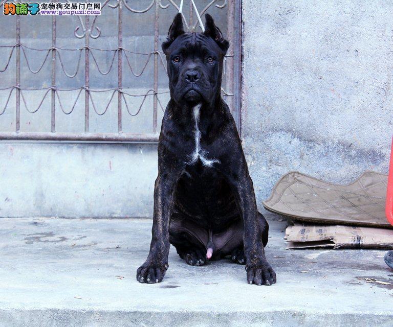 纯种卡斯罗幼犬找新主人了 顶级血统品 品相最棒