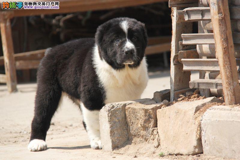 专业繁殖纯种武亚牧羊犬疫苗齐全保障品质一流专业售后