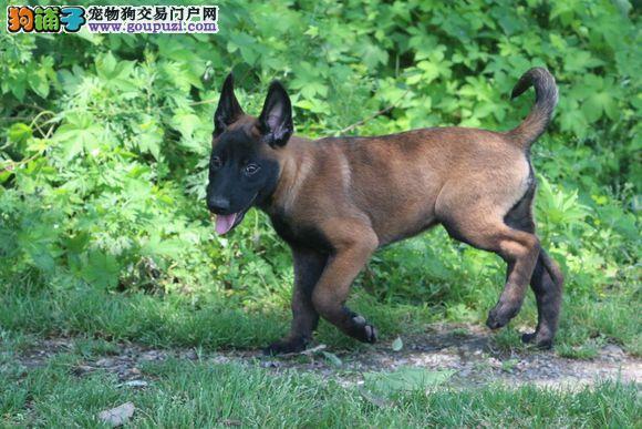 武汉养殖场直销完美品相的马犬签协议上门选