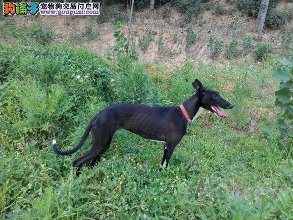 沈阳赛级纯种意大利灵缇幼犬格力犬猎兔犬狩猎犬出售