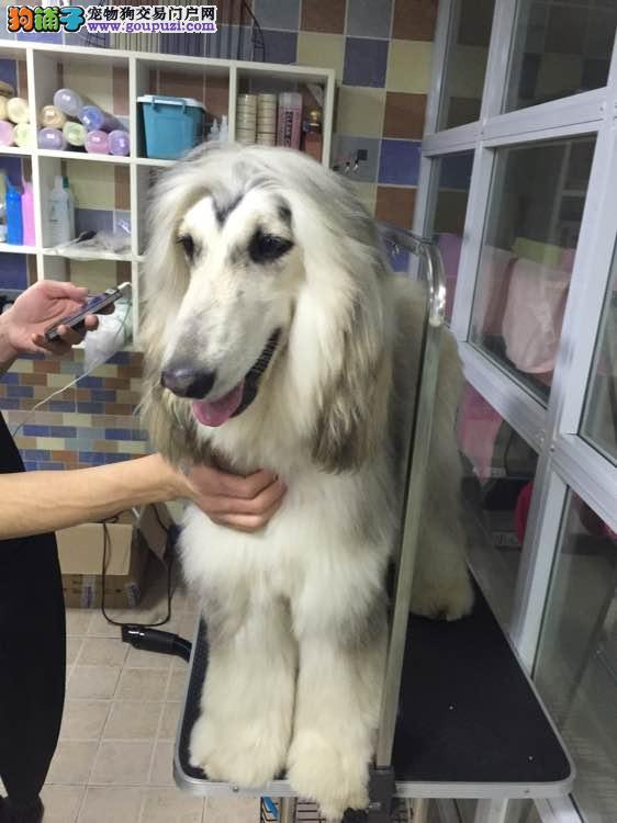 实物拍摄的阿富汗猎犬找新主人微信看狗可见父母